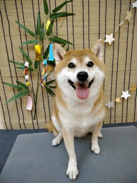 茶色の柴犬 タマちゃん