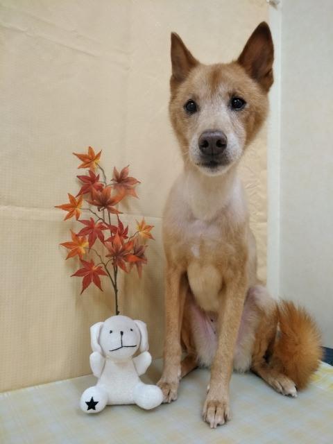 茶色の日本犬 サクタロウちゃん