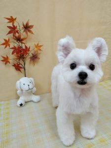 真っ白なたち耳MIX犬 くっきーちゃん