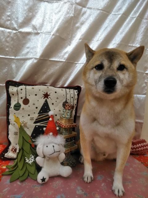 茶色の柴犬 ダンちゃん