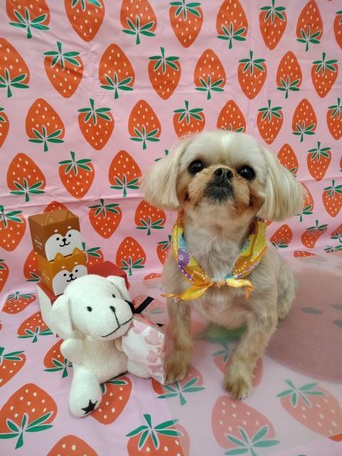 薄茶 MIX小型犬のラブリーちゃん