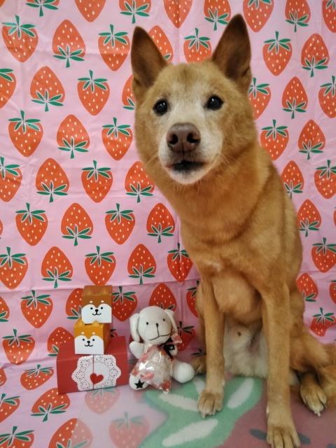 大型日本犬MIXの サクタロウちゃん