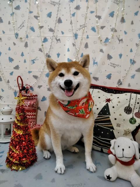 柴犬 茶色のタマちゃん